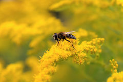 Hoverfly pollinates goldenrod Royalty Free Stock Photography