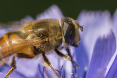 Hoverfly portrait Royalty Free Stock Photos