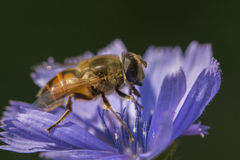 Hoverfly portrait Stock Image