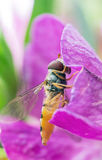 Hoverfly. Portrait of a hoverfly on a pink flower Stock Photo