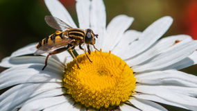Hoverfly profil Arkivfoton