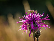 Hoverfly on a Purple Thistle Stock Photography