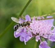 hoverfly pyrastri scaeva 免版税库存照片