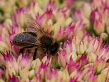 Hoverfly que alimenta en el polen Imagen de archivo libre de regalías
