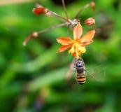 Hoverfly que asoma Foto de archivo