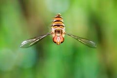 Hoverfly que asoma Imagen de archivo libre de regalías
