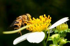 Hoverfly que chupa el néctar en la flor Imagenes de archivo