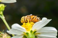 Hoverfly que chupa el néctar en la flor Fotos de archivo