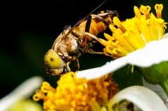 Hoverfly que chupa el néctar en la flor Foto de archivo libre de regalías