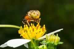 Hoverfly que chupa el néctar en la flor Foto de archivo
