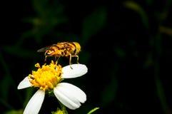 Hoverfly que chupa el néctar en la flor Fotografía de archivo libre de regalías