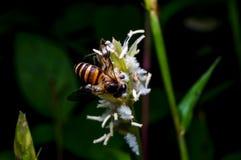 Hoverfly que chupa el néctar en la flor Imágenes de archivo libres de regalías