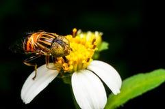 Hoverfly que chupa el néctar en la flor Fotos de archivo libres de regalías