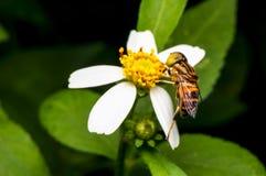 Hoverfly que chupa el néctar en la flor Imagen de archivo libre de regalías