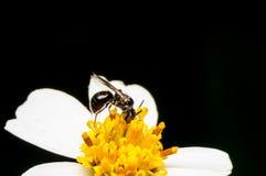 Hoverfly que chupa el néctar en la flor Imagen de archivo