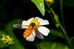 Hoverfly que chupa el néctar en la flor Fotografía de archivo