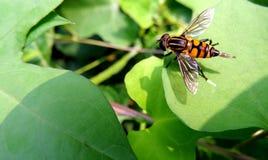 Hoverfly que coloca ovos Imagem de Stock