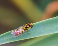 Hoverfly que descansa sobre la hoja Imágenes de archivo libres de regalías