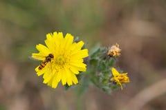 Hoverfly que descansa sobre la planta amarilla Foto de archivo