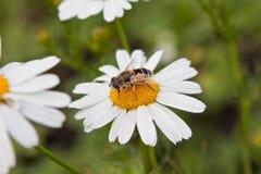 Hoverfly que introduce en la flor de la margarita Fotografía de archivo