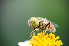 Hoverfly que maneja el néctar Foto de archivo