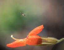 Hoverfly que paira na frente da flor do macaco Fotografia de Stock
