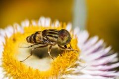 Hoverfly que recoge el néctar de una flor en un día de primavera soleado Fotografía de archivo