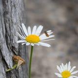 Hoverfly que se acerca a una margarita Imagen de archivo