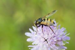 Hoverfly que se sienta en el arvensis de Knautia de la flor Fotos de archivo