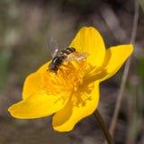 Hoverfly que se sienta en un flowe amarillo Fotografía de archivo