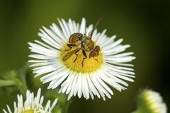 Hoverfly que visita una flor de la margarita en Windsor del sur, Connecticut Imagenes de archivo