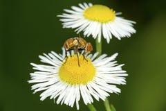 Hoverfly que visita una flor de la margarita en Windsor del sur, Connecticut Imagen de archivo