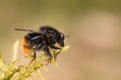 Hoverfly, ranuculi Criorhina, αρσενικό, που κάθεται στο πράσινο βρύο με το μαλακό πράσινο και ρόδινο υπόβαθρο Στοκ Φωτογραφίες