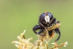 Hoverfly, ranuculi de Criorhina, varón, vista delantera que muestra la cara blanca Fotos de archivo libres de regalías