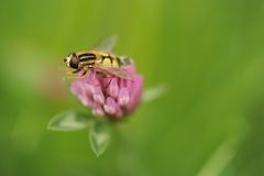 Hoverfly on red clover Stock Photography