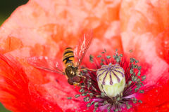 Hoverfly in a red poppy blossom Royalty Free Stock Photo
