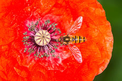Hoverfly in a red poppy blossom Royalty Free Stock Images