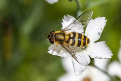 Hoverfly resting on a green leaf royalty free stock image