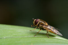Hoverfly resting on a leaf. Close-up of a hoverfly resting on a green leaf Stock Images