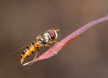 Hoverfly Royalty Free Stock Photos