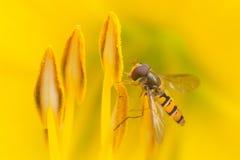 Hoverfly sammanträde på en gul blomma arkivfoton