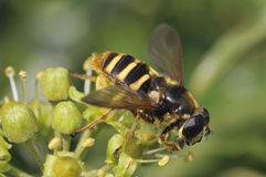 Hoverfly - Sericomyia silentis Royalty Free Stock Images