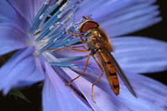 Hoverfly sittiing em uma flor da chicória Foto de Stock Royalty Free