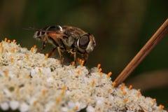 Hoverfly sittiing en una flor de la milenrama Fotografía de archivo