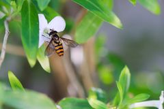 Hoverfly sitting on a small white flower. Stock Photos