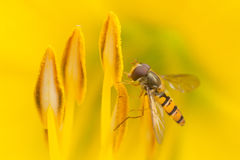 Hoverfly sitting on a yellow flower. Marmelade hoverfly eating nectar from a yellow flower Stock Photos