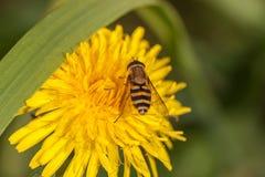 Hoverfly su un fiore del dente di leone Immagine Stock