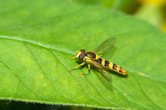 Hoverfly su una foglia verde fotografia stock