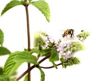 Hoverfly is sucking nectar from lemon balm. Flower fly. Syrphidae. Melissa officinalis royalty free stock photos