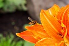 Hoverfly sui petali di un fiore arancio dell'emerocallide Fotografia Stock Libera da Diritti